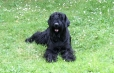 Giant Schnauzer, 1.5 years, Black